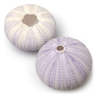 Small Violet Sea Urchin